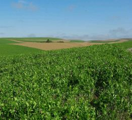 Austrian winter peas near the Camp farm contrast with a checkerboard of winter or spring wheat and fallow in the background— a more common pattern for the Camps' area.