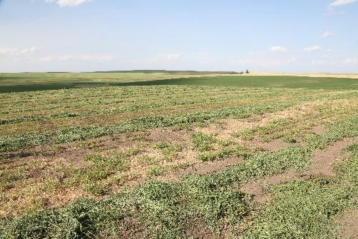 Dryland alfalfa