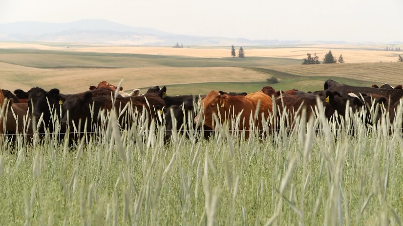 Cows grazing in cover crop