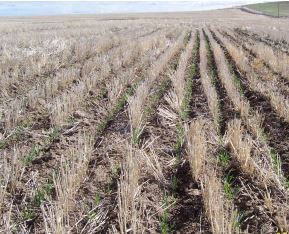Spring wheat is shown growing in the winter wheat stubble from the previous year.