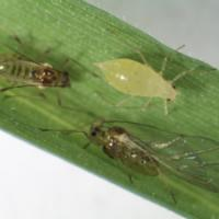 New Aphid